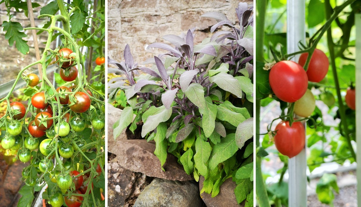 Home-grown_tomatoes_on_the_vine_and_fresh_sage