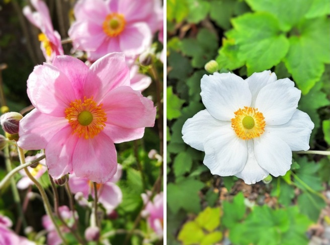 Pink_and_white_blooms_of_Japanese_anemones