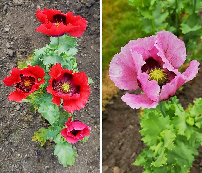 Large_red_and_pink_poppies