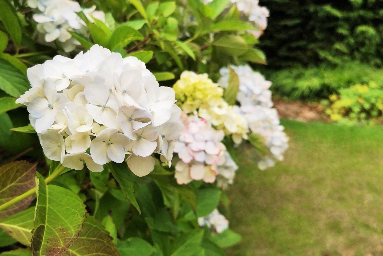 White_hydrangea_blooms