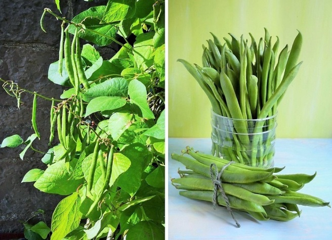 Home-grown_runner_beans_on_the_vine_and_freshly_picked