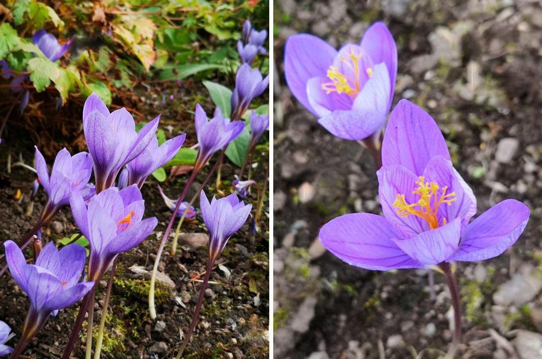 Lilac_petalled_with_saffron_aromatic_stamens_Autumn_crocus