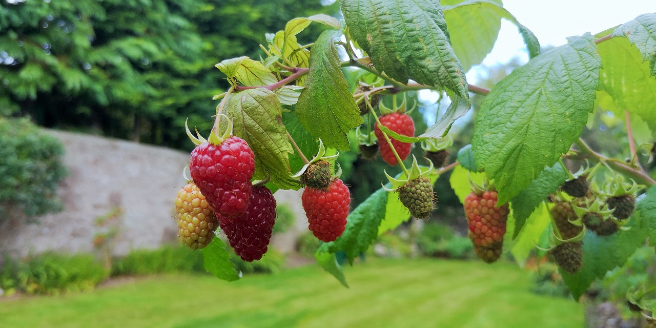 Branch_of_ripe_Autumn_raspberries