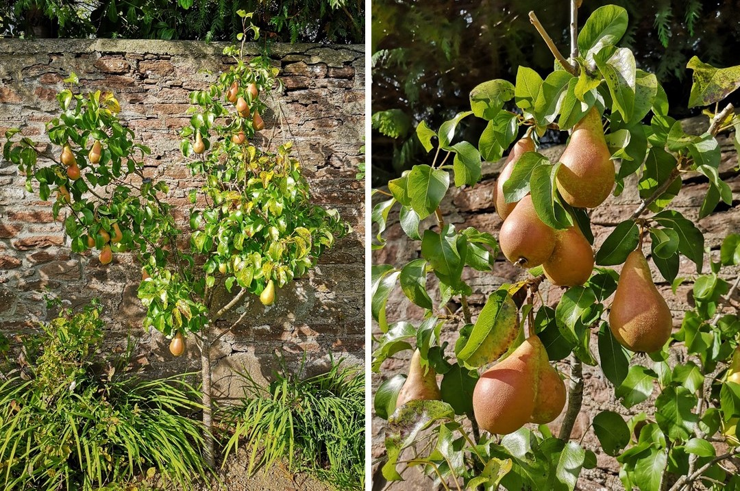 Small_garden_Concorde_pear_tree_in_fruit