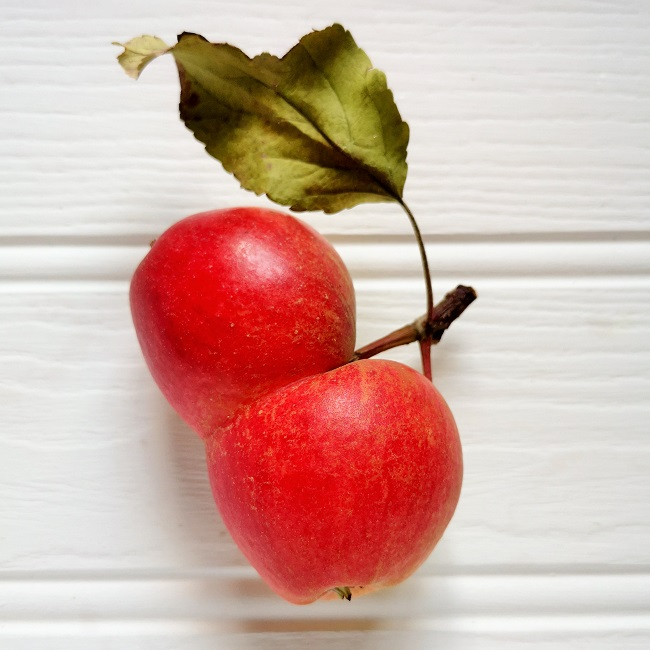 Two_apples_joined_together_during_growth