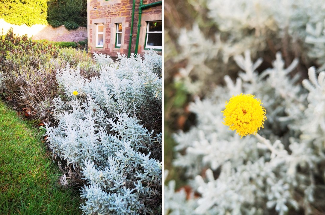 Single_bloom_of_cotton_lavender