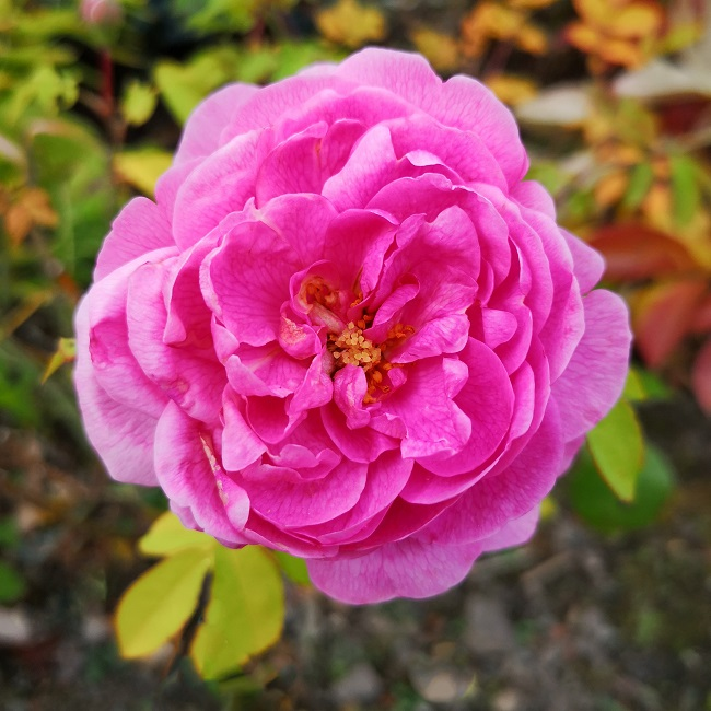 Gertrude_jekyl_deep_pink_rose_in_bloom