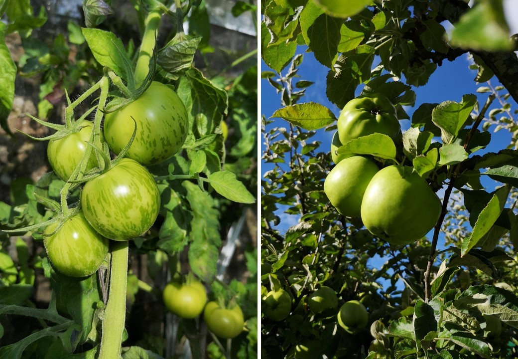 Growing_green_tomatoes_and_cooking_apples