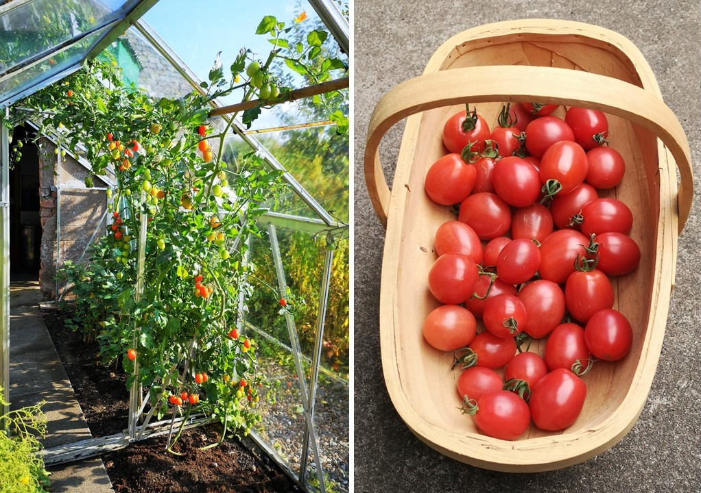 Home-grown_tomatoes_growing_in_the_greenhouse