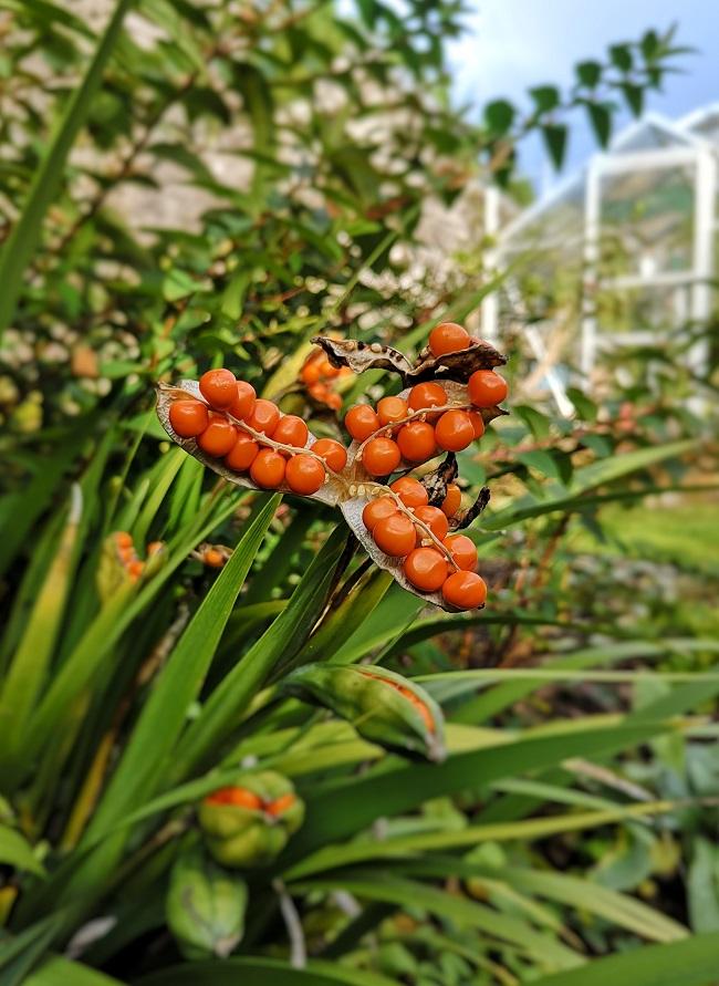 Orange_seeds_of_Iris_foetidissima