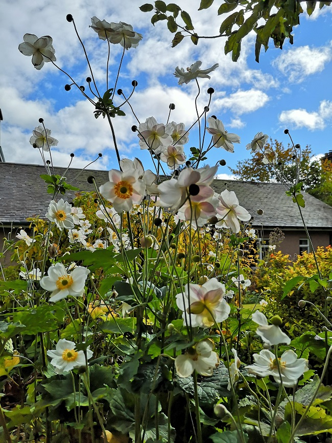 Multi-blooms_of_white_Japanese_Anemones