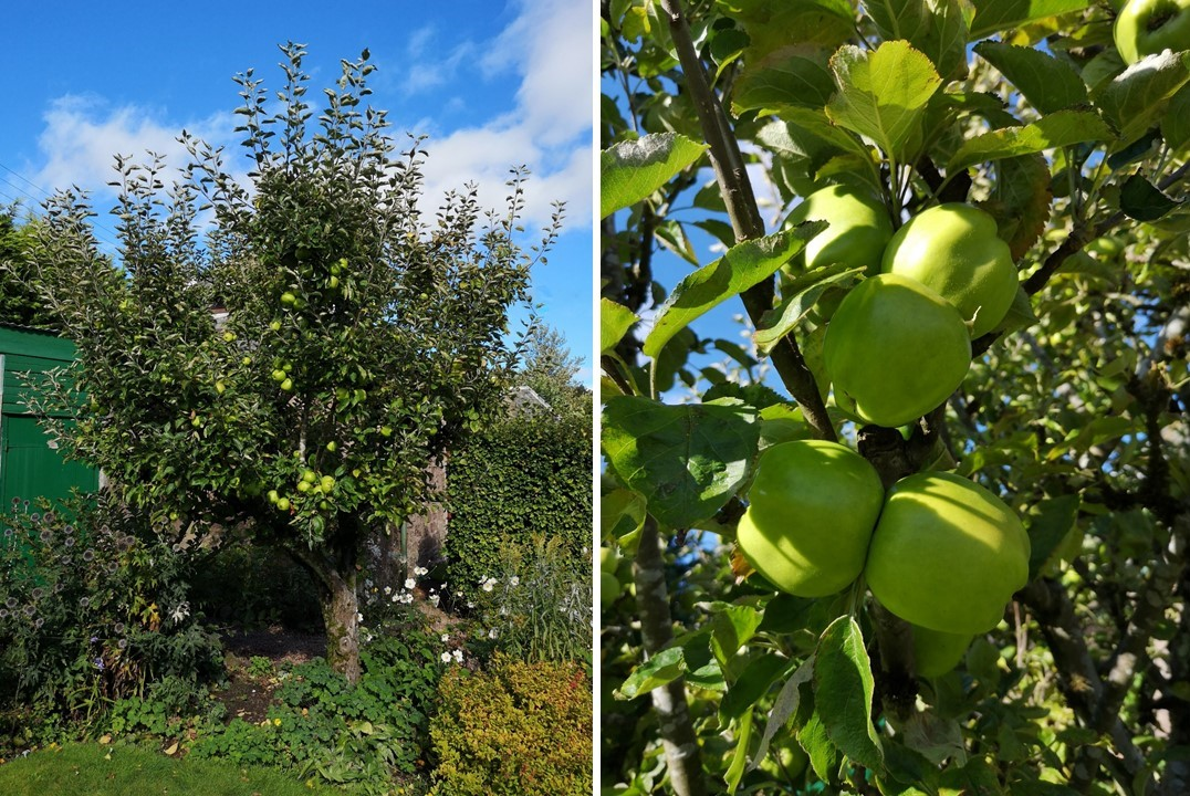Lord_Derby_apple_tree_and_close-up_of_apples_on_tree