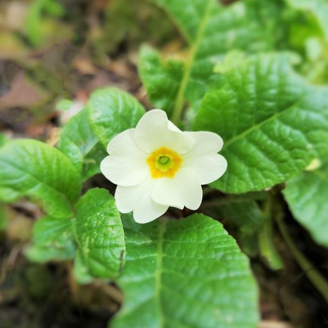 Perennial_primrose_in_flower_in_October