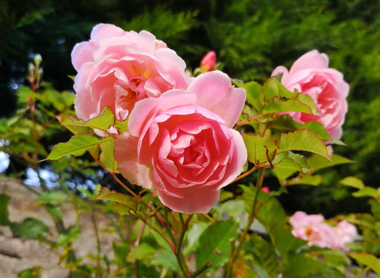 Fragran_pink_rose_blooming_in_October
