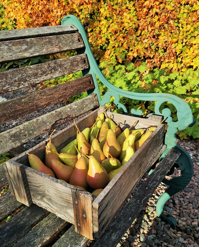 Home-grown_Concorde_pears_in_wooden_crate_on_garden_seat
