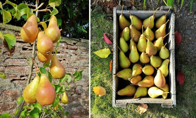 Home-grown_Concorde_pears_on_tree_and_in_wooden_crate