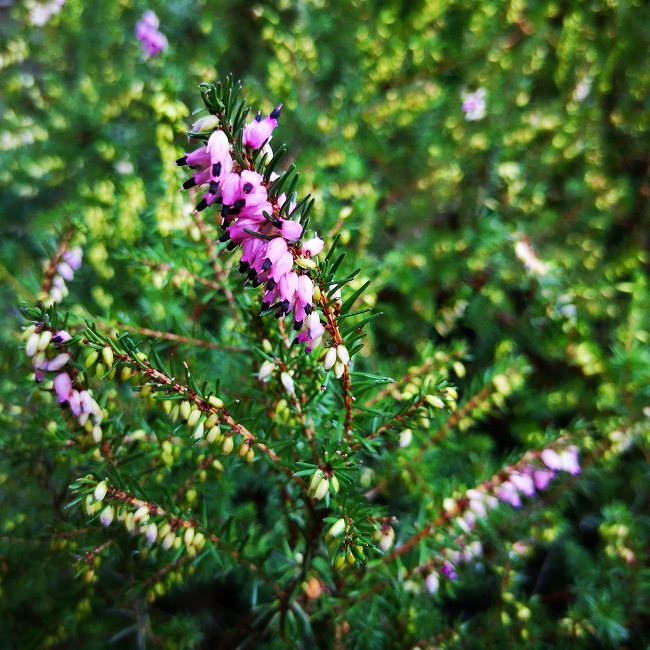 Pink_winter_heather