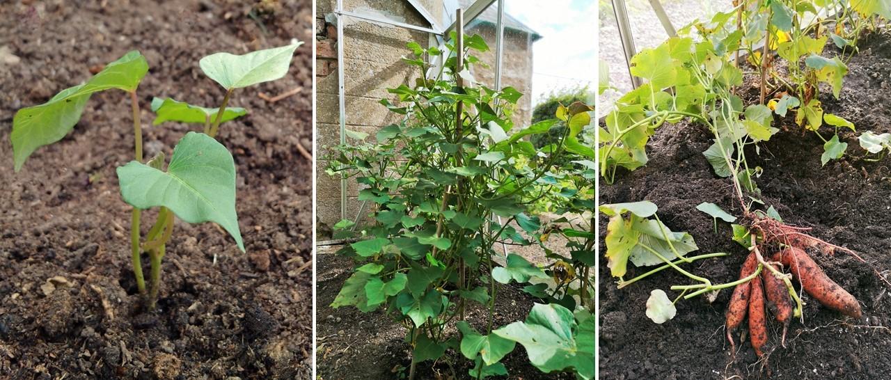 Home-grown_sweet_potato_plants