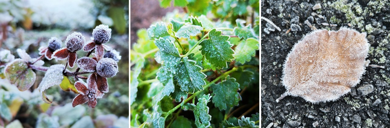 Frosted_berries_herbs_and_fallen_leaf