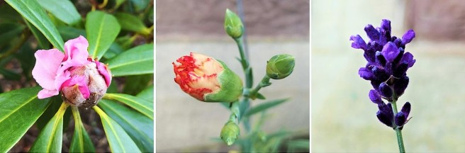 Pink_rhododrendron_in_bud_orange_carnation_in_bud_lavender_flowers