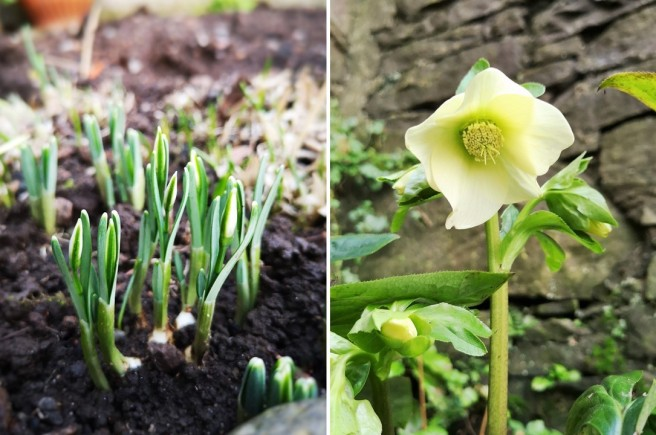 Snowdrops_in_bud_and_a_white_hellebore_in_bloom