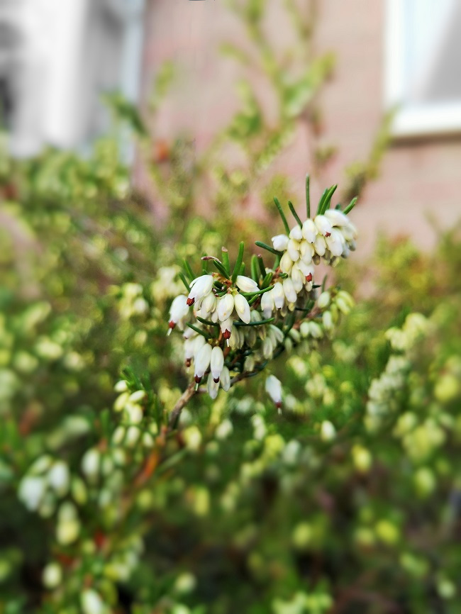 Winter-flowering_white_heather