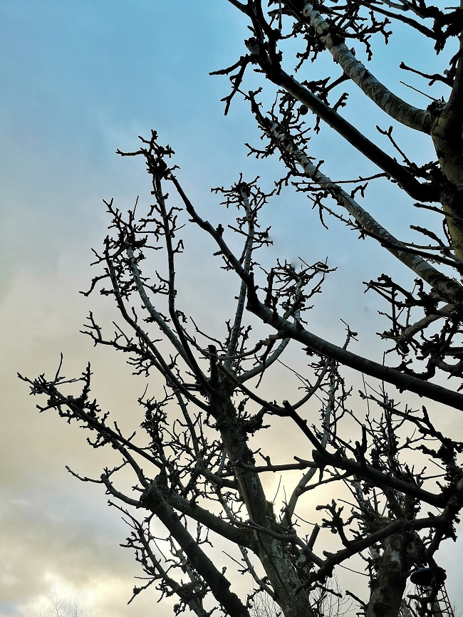Lord_Derby_apple_tree_after_Winter_pruning