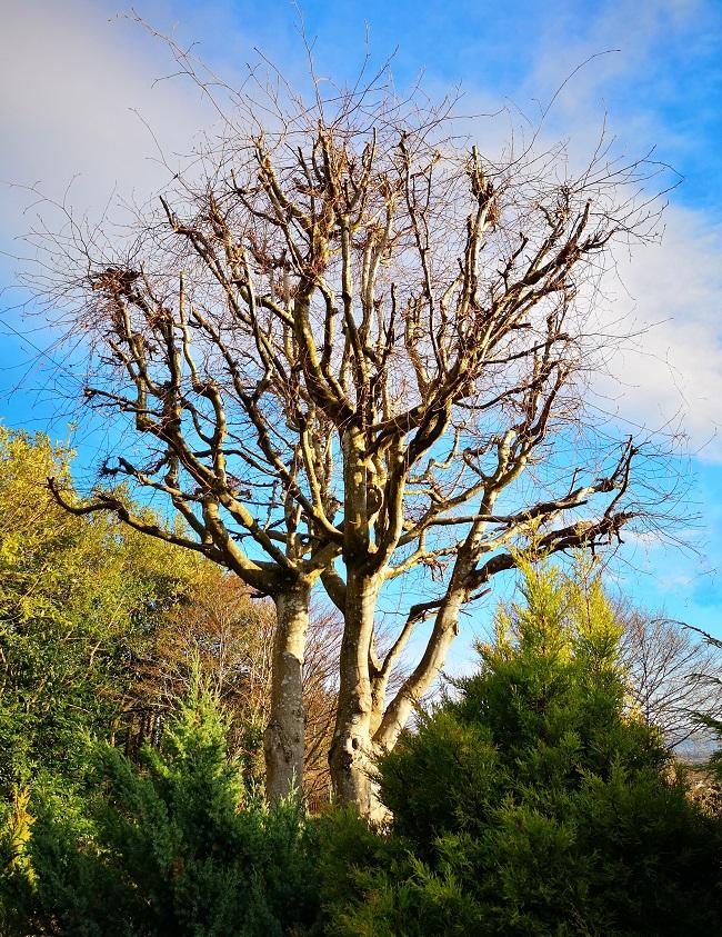 A_bare_copper_beech_tree_in_winter