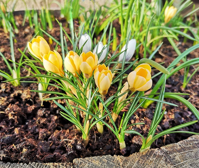 Golden_yellow_crocus_growing_in_a_wooden_barrel