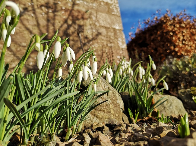 Snowdrops_growing_in_a_gravel_path