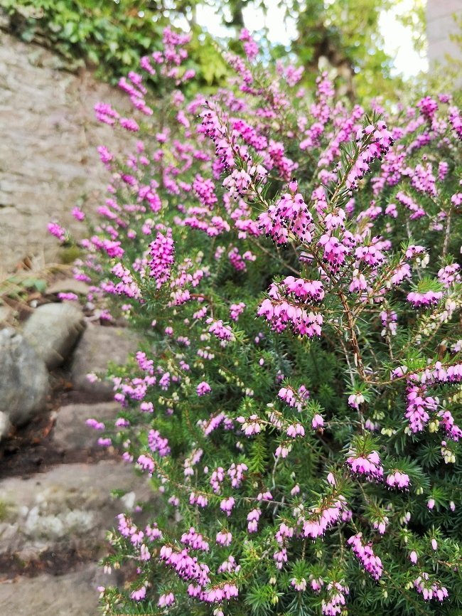 Heavily_laden_with_blooms_a_pink_winter_heather