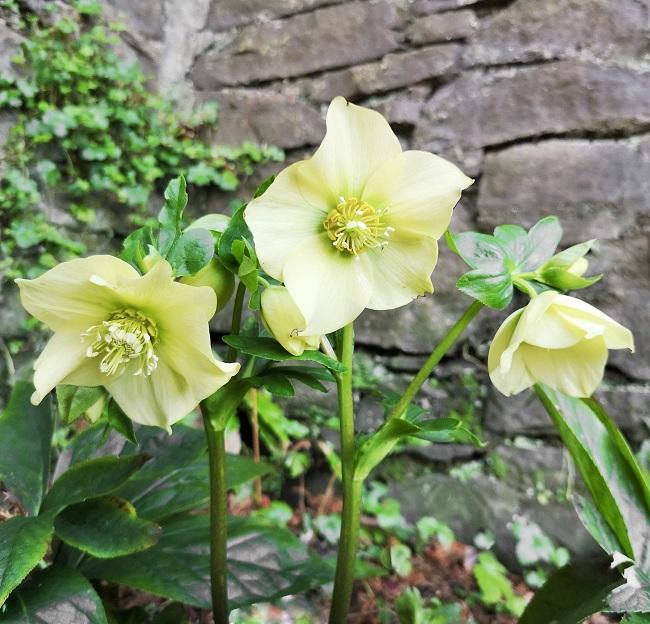 3_flower_stems_of_white_Hellebore_flowers