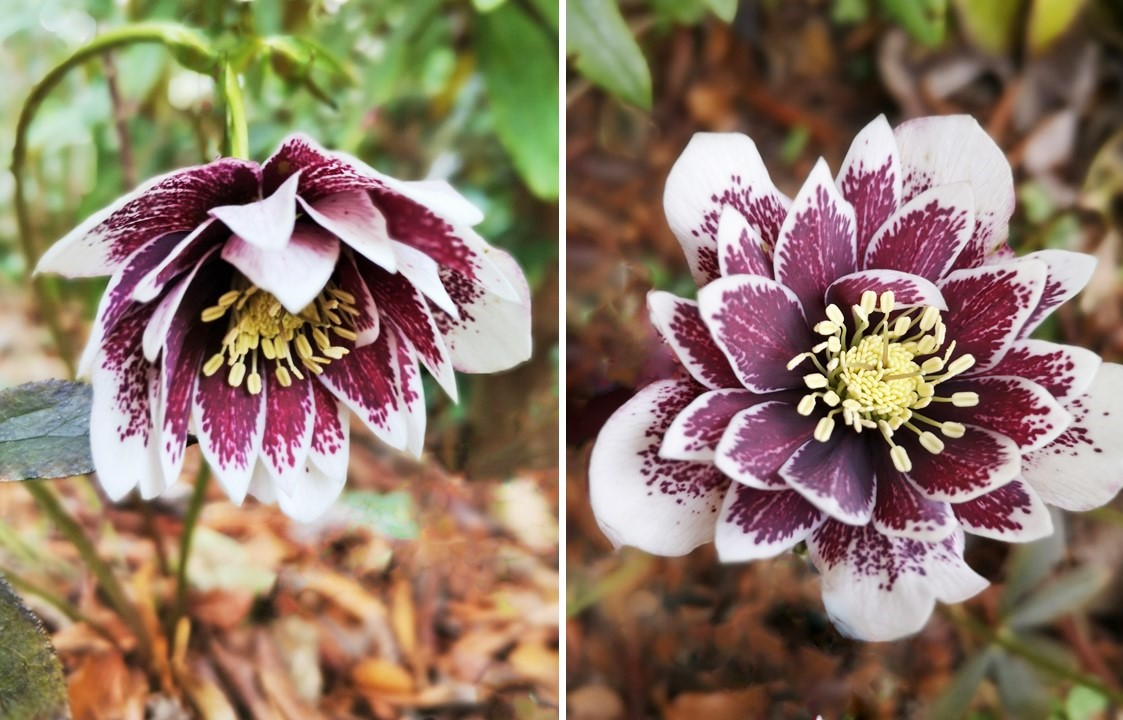 Double_white_speckled_Hellebore
