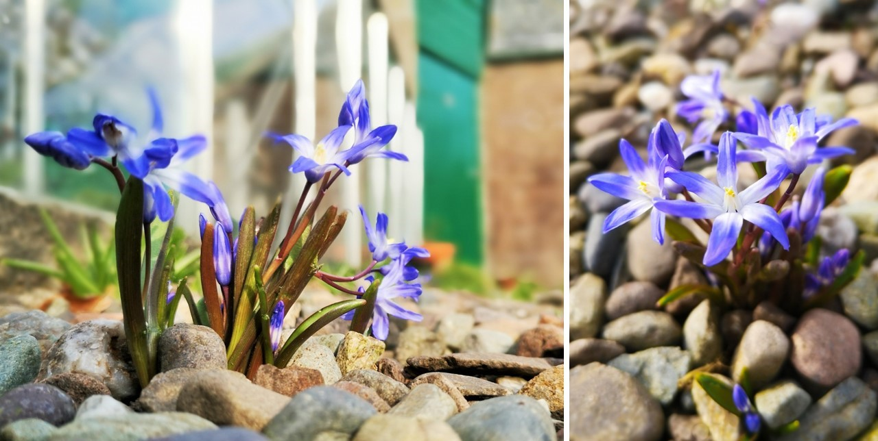 Chionodoxa_in_gravel_paths_in_a_Scottish_garden