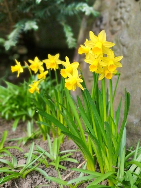 Narcissus_Tête-à-tête
