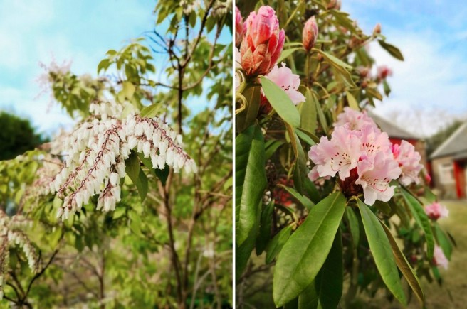 White_Pieris_Japonica_and_pale_pink_Rhododendron
