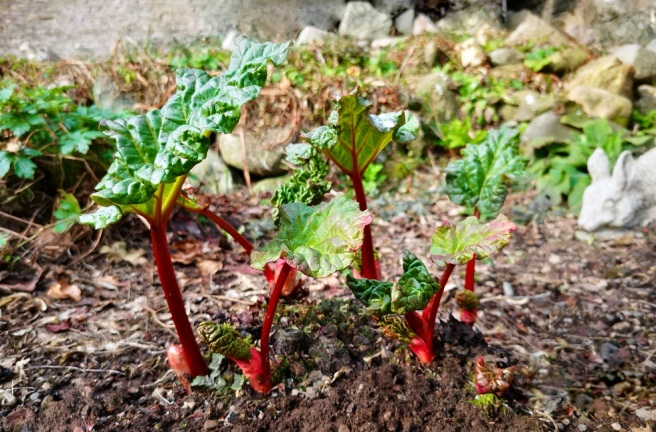 Young_Scottish_rhubarb_stems