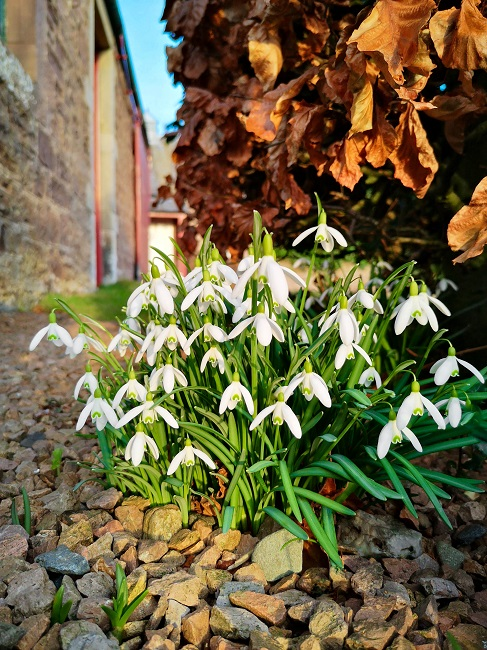 Scottish_snowdrops_in_February_sunshine