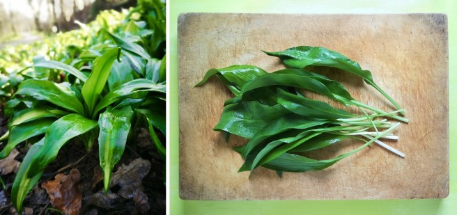 Growing_and_picked_wild_garlic