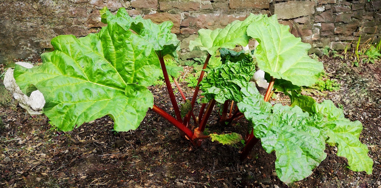 Home-grown_rhubarb_growing_in_late_March_2019