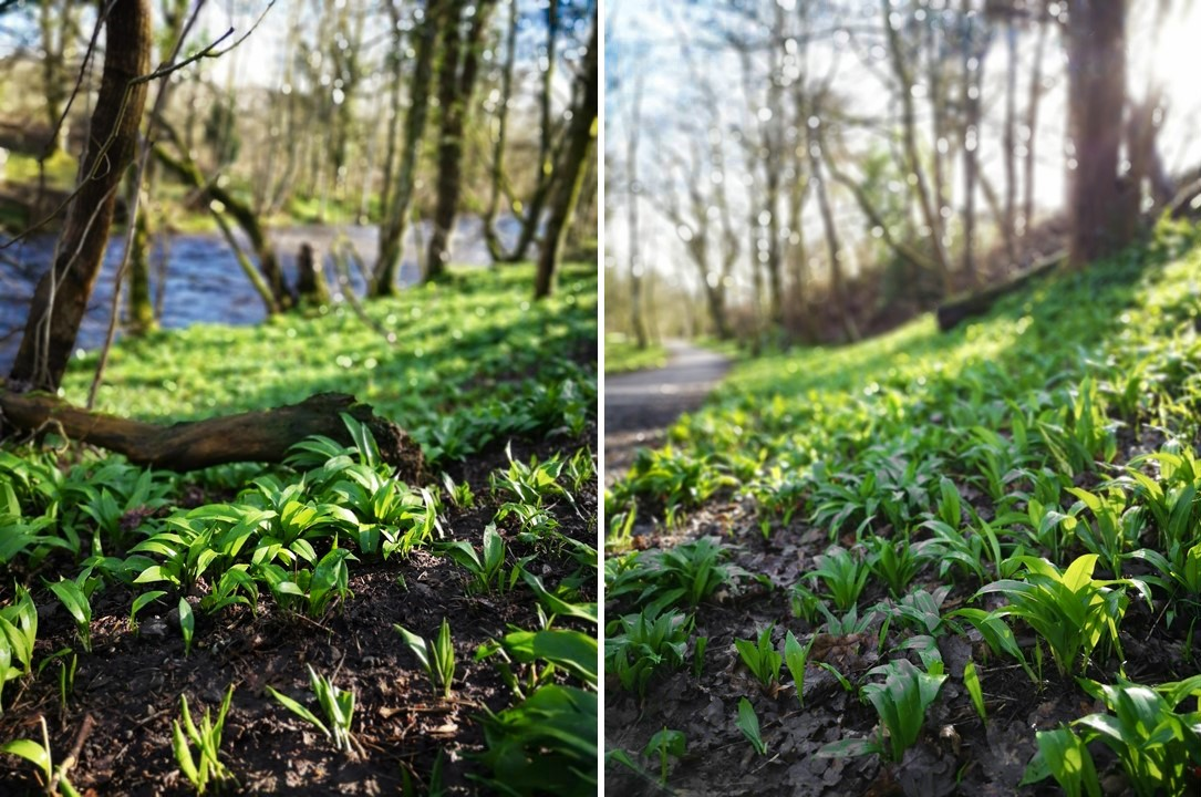 Wild_garlic_growing_on_the_riverbanks_of_central_Scotland