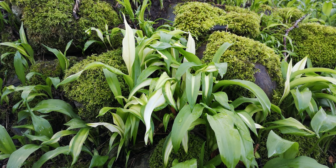 Variegated_wild_garlic_growing_in_a_Perthshire_woodland