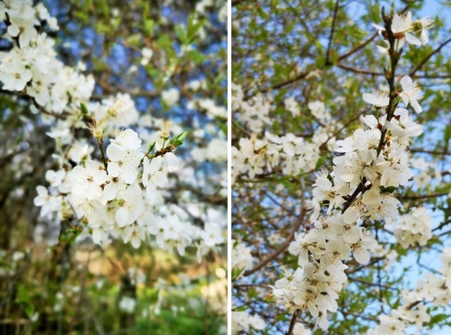 Blackthorn_blossom