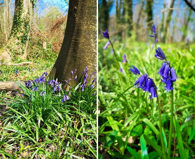 Wild_English_Bluebells_in_a_Sussex_woodland