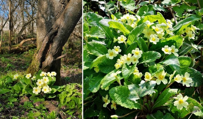 Wild_primroses_under_a_tree_and_on_a_woodland_bank