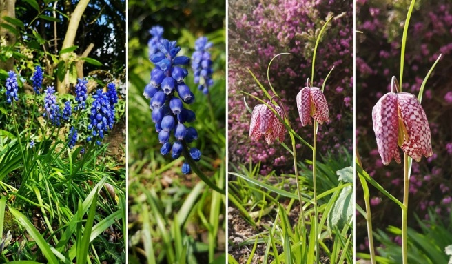 Grape_hyacinths_and_snakeshead_fritilary