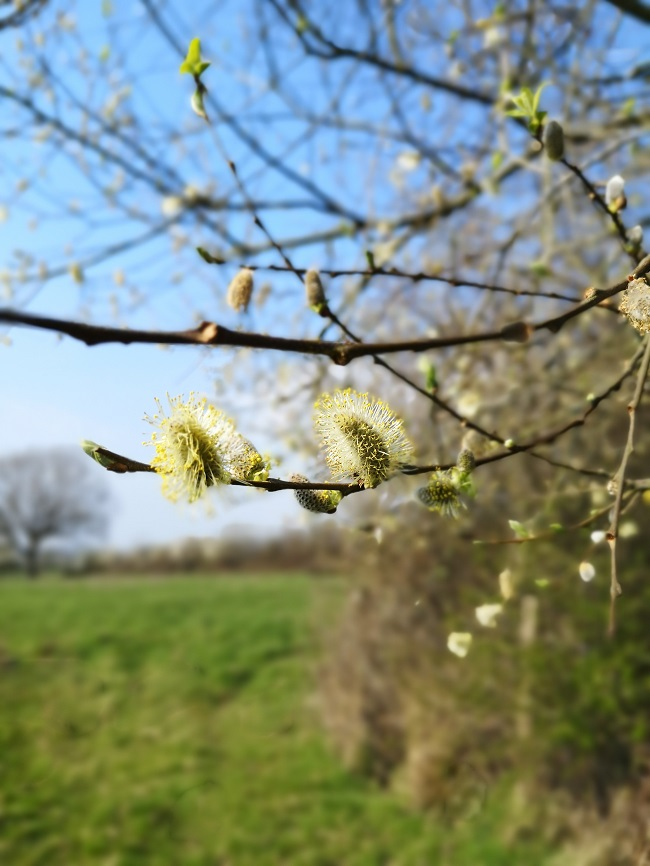 Pussy_Willow_tree_overhanging_a_field