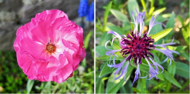 Pink_ranunculus_and_a_Centaurea_montana