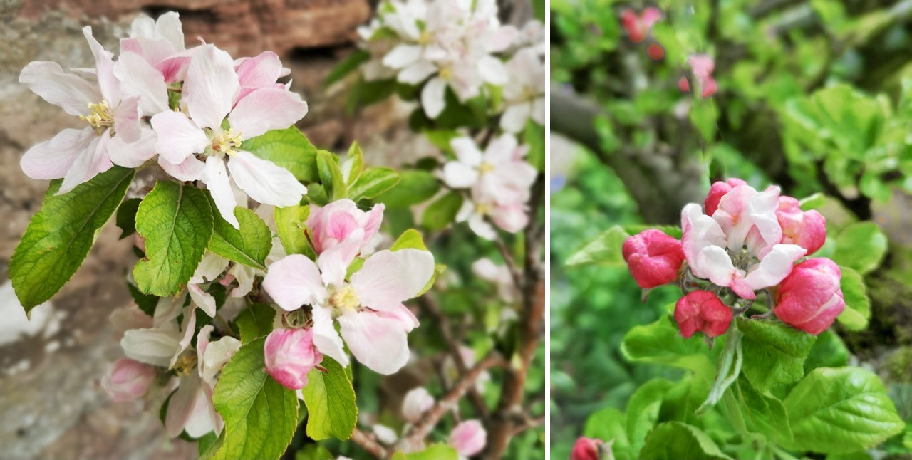 Dessert_and_cooking_apple_blossom