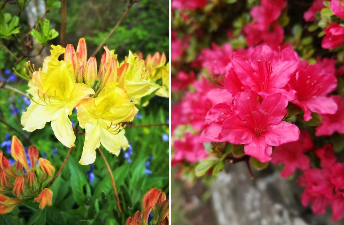 Yellow_and_pink_Azalias